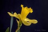 Yellow Daffodil DSCN08763