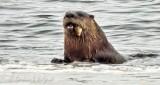 Otter With A Catch DSCN09928