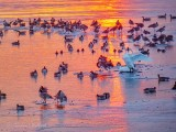 Migrating Waterfowl At Sunrise P1020360