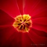 Red Tulip Interior P1020375