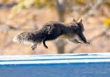 Supersquirrel-Faster Than A Speeding Bullet P1020498