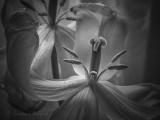 Old Tulip Stamen & Pistil P1020507bw