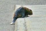 Beaver On A Curb P1020519-00