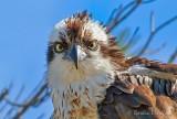Osprey Eyes P1020526-13s