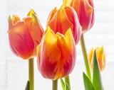 Orange Tulips With Red Streaks P1020561