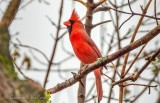 Male Cardinal DSCN14803