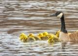 Goslings & Goose DSCN14844