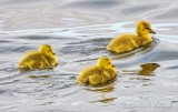 Three Goslings Swimming DSCN14891