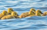 Wetback Goslings DSCN15438