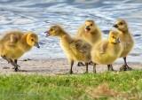 Five Goslings At Water's Edge DSCN15959