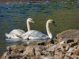 New Town Swans DSCN16401