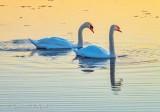 Two Mute Swans At Sunrise DSCN16444