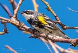 Yellow-rumped Warbler DSCN16557