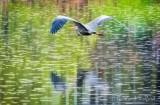 Heron In Flight DSCN16654