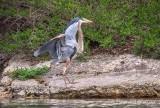 The Heron Has Landed DSCN17239