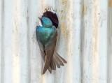 Tree Swallow At Its Nest DSCN17408