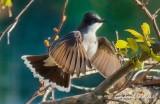Kingbird Taking Flight P1020741-13