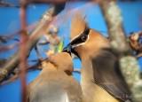 Cedar Waxwing Kissy-Face DSCN17589 (crop)