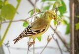 American Goldfinch Snacking DSCN17649