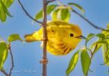Yellow Warbler SCN17851