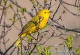 Yellow Warbler DSCN17857