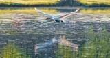 Trumpeter Swan In Flight DSCN18502