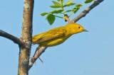 Yellow Warbler Taking Flight P1020783-04