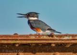 Kingfisher On A Bridge Railing DSCN18687