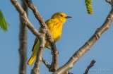 Yellow Warbler DSCN18655