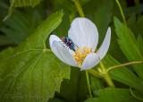 Bluebottle Fly On A Canada Anemone Flower DSCN21090