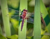 Dragonfly DSCN22205