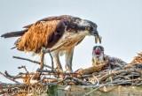 Osprey Feeding Chick DSCN22346