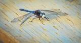 Dot-tailed Whiteface Dragonfly DSCN22466