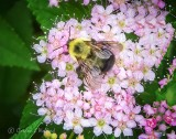 Bee On Spirea Blossoms DSCN22952