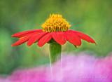Mexican Sunflower DSCN24466