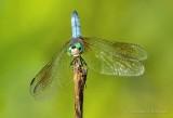 Blue Dasher Dragonfly DSCN24890