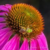 Green Sweat Bee On A Coneflower DSCN25207 (crop)