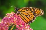 Monarch Butterfly On A Pink Flower DSCN25321