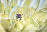 Boxelder Bug On A Flower DSCN25260