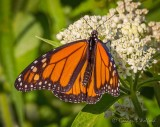 Monarch Butterfly On A White Flower DSCN25285