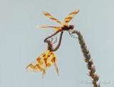 NSFW Dragonflies DSCN25937