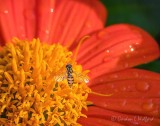 Hoverfly On A Mexican Sunflower DSCN25740
