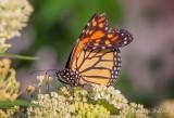 Injured Monarch Butterfly DSCN25733