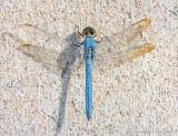 Dragonfly On Concrete DSCN26076-8