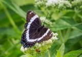 White Admiral Butterfly & Bug DSCN26271
