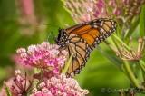 Monarch Butterfly DSCN26235