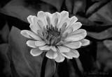 Pink Flower In Black & White DSCN26484-6BW