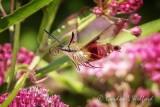 Hummingbird Clearwing Moth In Flight DSCN27018