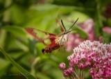 Hummingbird Clearwing Moth In Flight DSCN26991