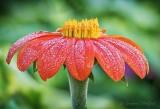 Dewy Mexican Sunflower DSCN27522-7